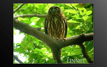 Photo: アオバズク  フクロウ目 フクロウ科   ( Brown Hawk Owl )