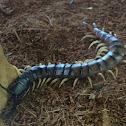 Desert centipedes
