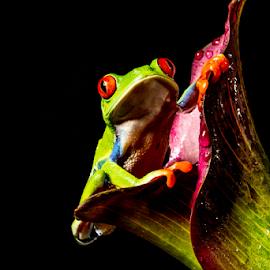 Tree frog by Garry Chisholm - Animals Amphibians ( sigma, nature, amphibian, macro workshop, red eyed tree frog, canon, garry chisholm )