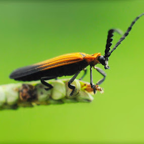 Horned by Rezza Herdiyanto - Animals Insects & Spiders