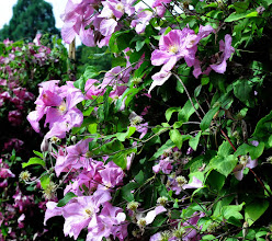 Photo: Clematis 'Comtesse de Bouchaud' 2