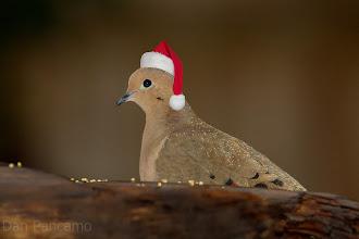 Photo: Mourning Dove Elf