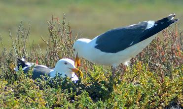 Photo: 132. A pair of nesting Western sea gulls.
