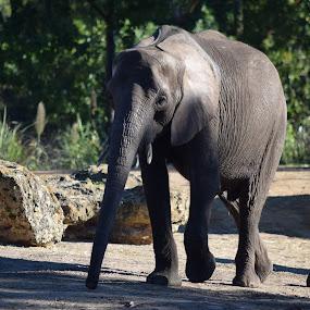Elephant by Keith Heinly - Animals Other Mammals ( kingdom, elephant, safari, disney, animal )