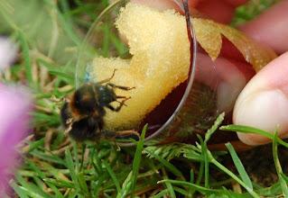 Photo: Junghummelkönigin der Baumhummel mit verkrüppelten Flügeln durch Deformed Wing Virus. Foto Nahid, http://aktion-hummelschutz.de/forum/thread.php?postid=8171#post8171