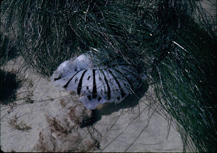 Photo: Jellyfish floating in sea grass. Taken in Southern CA circa 1968.