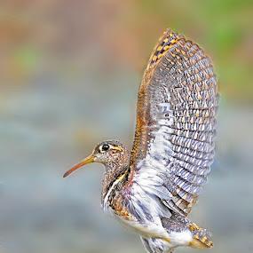 Painted snipe landing!! by Prasanna AV - Animals Birds ( bird, wings, male, snipe, wader )