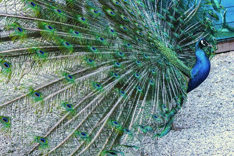 Blu come pavone di Bibanto