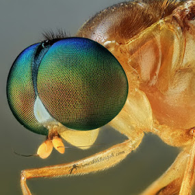 rainbow eyes by Shikhei Goh II - Animals Insects & Spiders