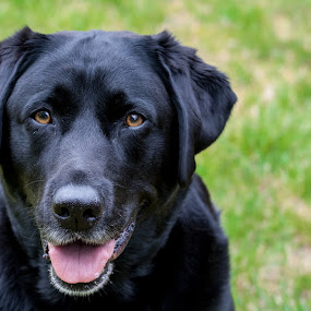 Waiting for treats by Lizzy MacGregor Crongeyer - Animals - Dogs Portraits ( loyal, hoping, waiting, pet, fur, best friend, dog, black, black labrador,  )