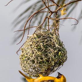 Construction Worker by Adriaan Vlok - Animals Birds ( bird, nest. bird nest, yellow bird )