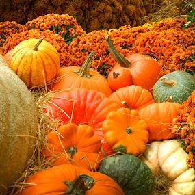 by Chris Pugh - Public Holidays Halloween ( orange, pumpkin patch, gord, pumpkin, fall, pumpkin close up, patch )