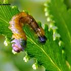 Lygodium sawfly larvae