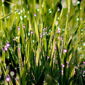 sunny morning by Cosmin Popa-Gorjanu - Nature Up Close Leaves & Grasses ( grass, dew, green, drops, freshness, morning, light )