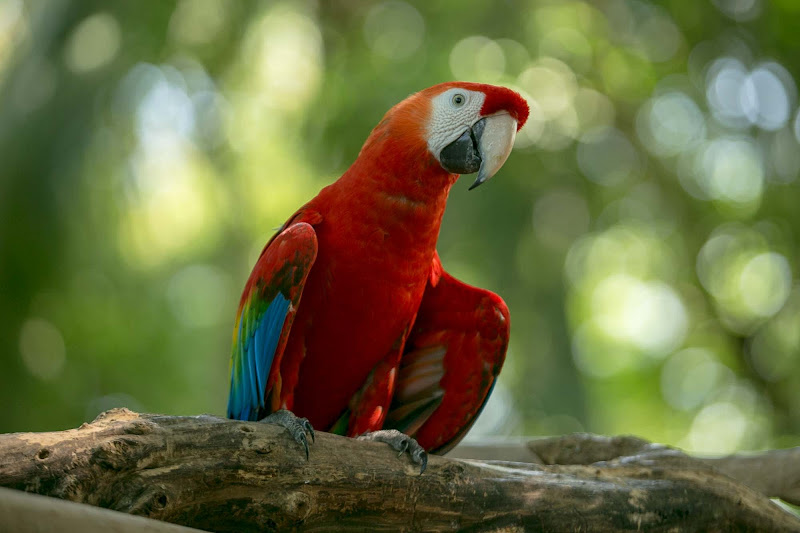 A red-colored macaw in Old Cartagena, Colombia.