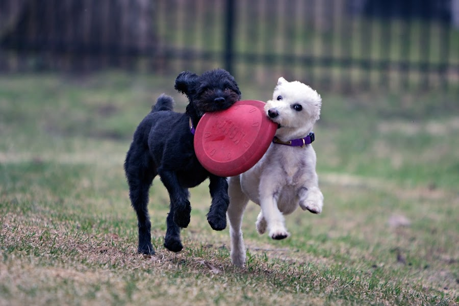 Play Time by Alex Fraser - Animals - Dogs Portraits ( dogs, pets, play, adorable, spring, frisbee )