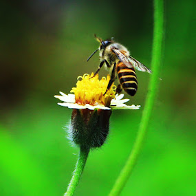 bee by Gilang Franasia - Animals Insects & Spiders