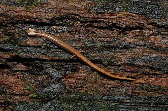 Photo: Oedipina alleni 1, Esquinas Rainforest (8:42/-83:12), 25-05-2006, Author: Erwin Holzer, det. Gerardo Chaves
