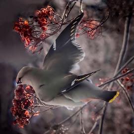 Bohemian waxwing  by Patricia Phillips - Animals Birds ( alaska birds waxwings berries, winter mountain ash )