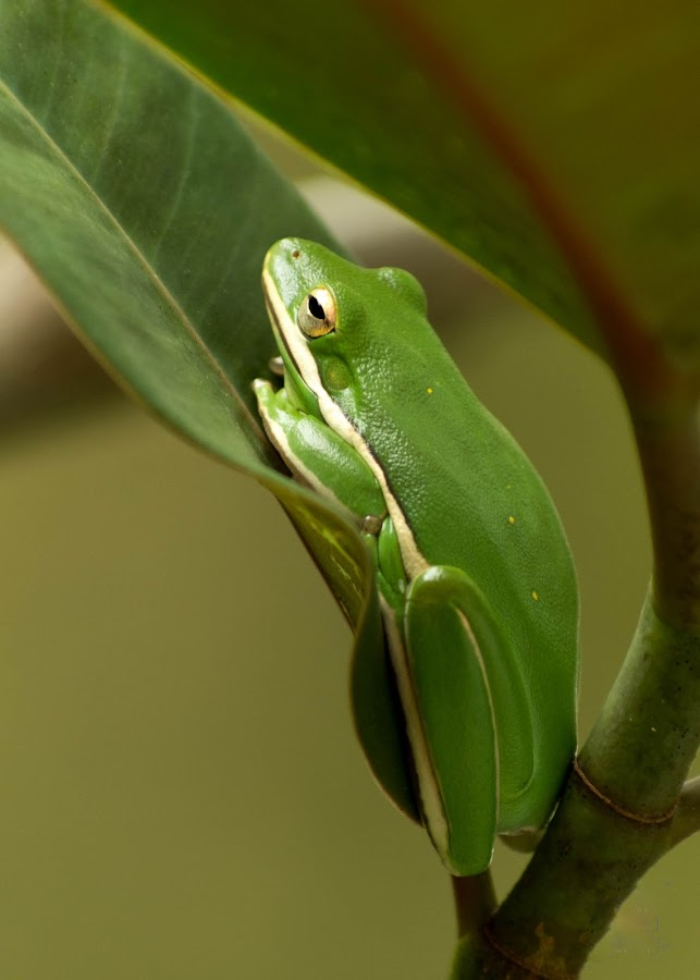 Kermit by Jeff Dugan - Animals Amphibians ( nature, frog, tree frog, anphibian )