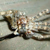 Molting Fishing Spider