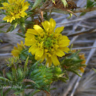 Pappose Tarweed