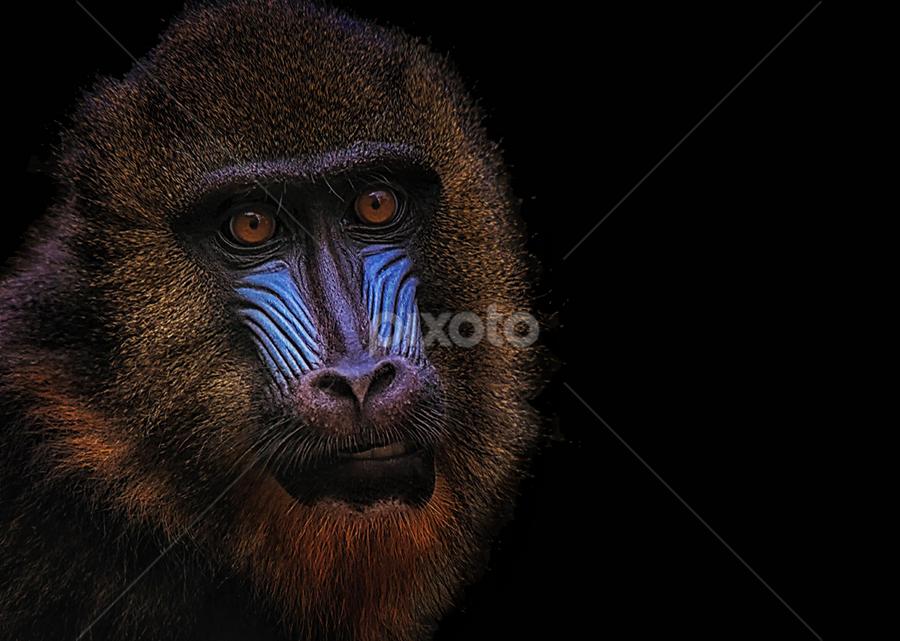 Portrait Of A Mandrill by LR Eddie - Animals Other Mammals ( mandrillus sphinx, ape, lreddie, the mandrill, primate, africa )