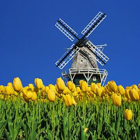 Tulip and Windmill by Qing Zhu - Flowers Flower Gardens ( bloom, yellow, tulips, spring, blossom, netherlands, blue, holland, tulip, dutch, flowers, flower, windmill, yellowerish )