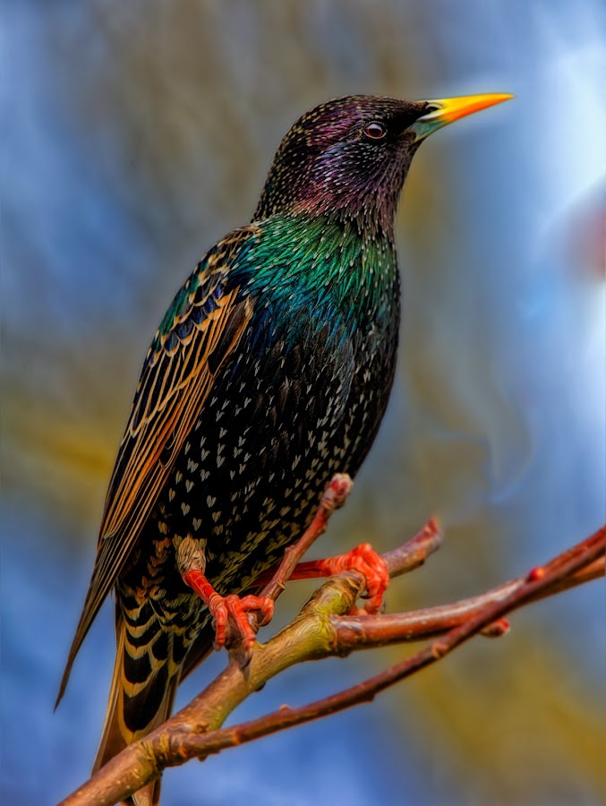 sTARLING by Mark Story - Animals Birds