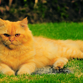 my cat by Aris Setiarso - Animals - Cats Portraits