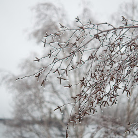 Spring Icicles by Dave Reece - Nature Up Close Trees & Bushes ( ice, toronto, snow storm, freezing rain, spring )