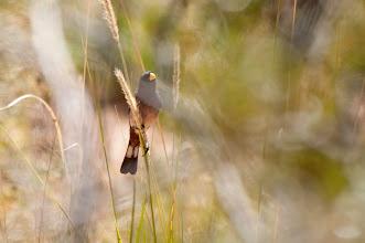 Photo: Band-tailed Seedeater (Spiegelcatamenie); Valle Cachaquí, ARG
