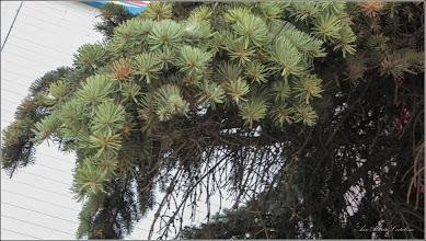Photo: Molid argintiu (Picea pungens) - din Turda, Piata 1 Decembrie 1918, spatiu verde - 2019.09.16