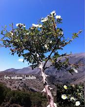 Photo: rosa sempervirens ΟΡΟΣΕΙΡΑ ΔΙΚΤΗΣ(1615μ.) (περιοχή Ασφεντάμι-Σελάκανο)  ΡΟΔΗ Η ΑΕΙΘΑΛΗΣ.Η Ροδή η αειθαλής είναι ένα αυτοφυές είδος τριανταφυλλιάς της χώρας μας. Όπως λέει και το όνομά της η τριανταφυλλιά αυτή δεν χάνει τα φύλλα της το χειμώνα και παραμένει πάντα πράσινη,με μακρείς αναρριχώ- μενους κλάδουςπου φτάνουν σε μεγάλο ύψος. Η άνθιση της είναι πολύ πλούσια, με τα λευκά άνθη σε κορύμβους ανά 3-10, να σκεπάζουν τους βλαστούς.Απαντάτε σε δασώδεις και θαμνώδεις περιοχές.
