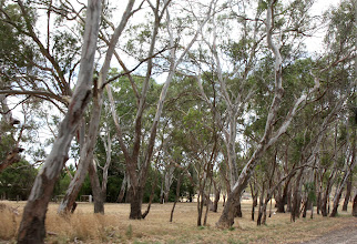 Photo: Year 2 Day 226 - Lots of Gum Trees on View Now