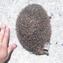 Afghan Hedgehog