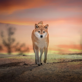 A stroll in the sunset by Astrid Kallerud - Animals - Dogs Portraits ( shiba, doggie, dogs, animal, animals, dog, pet, dog portrait )