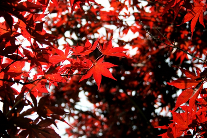 Red Maple di Pitbast