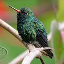 Besourinho-de-bico-vermelho (Glittering-bellied Emerald) - Male