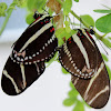Zebra Heliconian Buttefly