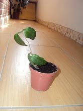 Photo: Hoya dimorpha