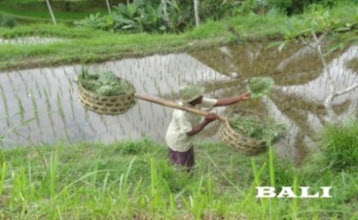 Photo: 3 - journée d'excursion rizière de PUJUNG