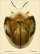 Photo: Charidotella sinuata, 7mm, Costa Rica, Queseda (10°16´/-84°26´), leg. Gernot Kunz, det. Lech Borowiec