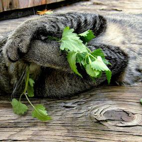 Cat loving catnip by Liz Hahn - Animals - Cats Playing (  )