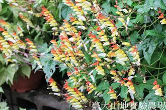 Photo: 拍攝地點: 春陽-可愛植物區 拍攝植物: 羽花蘿 拍攝日期:2013_08_29_FY