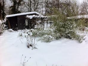 Photo: Naturgarten Düsseldorf Lohausen, Weihnachten 2010, Glycinie erfriert, Bambus niedergedrückt