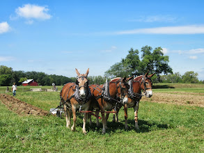 Photo: Three mules plowing a field in front of a red barn at Carriage Hill Metropark in Dayton, Ohio.