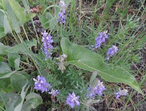 Photo: Lupine flower