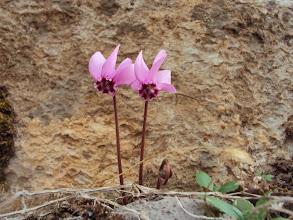 Photo: Cyclamen botanique.