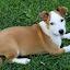 Wee Willie Winkie by Ingrid Bjork - Animals - Dogs Portraits ( puppy, dog,  )